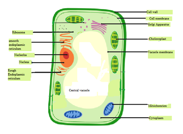 Draw a typical plant cell and label the organelles. Also ...