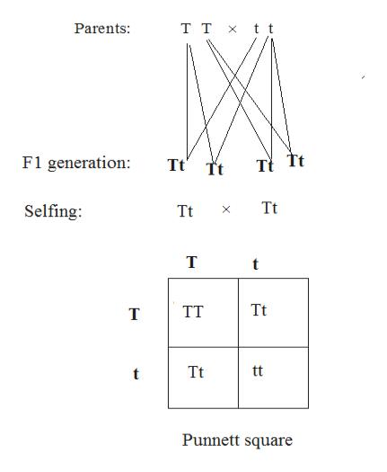 T T xt t Parents: F1 generation Tt Tt Tt Selfing Tt T TT T tt Tt Punnett square Tt