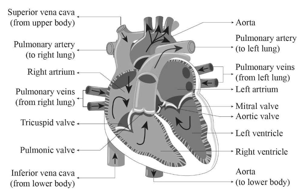 Superior (from upper body) vena cava Aorta Pulmonary artery (to left lung) Pulmonary artery (to right lung) Pulmonary veins (from left lung) Right artrium Left artrium Pulmonary veins (from right lung) Mitral valve Aortic valve Tricuspid valve Left ventricle Pulmonic valve- Right ventricle Aorta Inferior vena cava (to lower body) (from lower body)