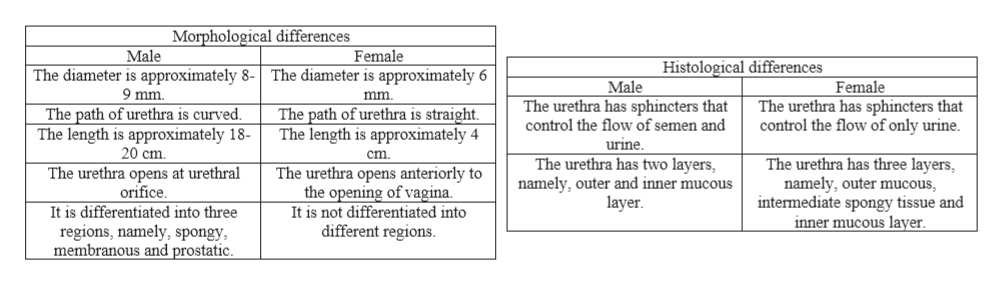 Morphological differences Male Female Histological differences The diameter is approximately 8-The diameter is approximately 6 Female The urethra has sphincters that control the flow of only urine. Male 9 mm mm. The urethra has sphincters that The path of urethra is curved The length is approximately 18- 20 cm The path of urethra is straight. The length is approximately 4 control the flow of semen and urine. cm The urethra has two layers, namely, outer and inner mucous layer The urethra has three layers, namely, outer mucous intermediate spongy tissue and inner mucous layer. The urethra opens anteriorly to the opening of vagina. It is not differentiated into different regions. The urethra opens at urethral orifice It is differentiated into three regions, namely, spongy membranous and prostatic.