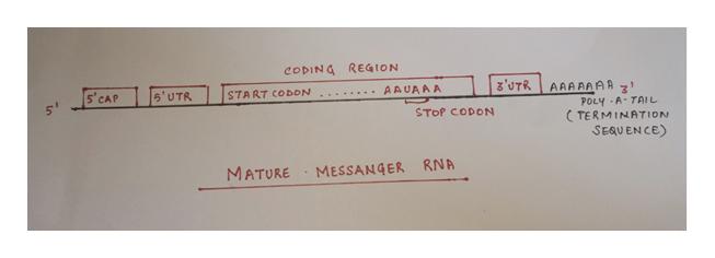 CODING REGION z'UTR AAAAAAA POLY A-TAIL TERMINATION SEQUENCE) s' CAP AAUAAA 5'UTR START CODON STOP CODON RNA MATURE MESSANGER