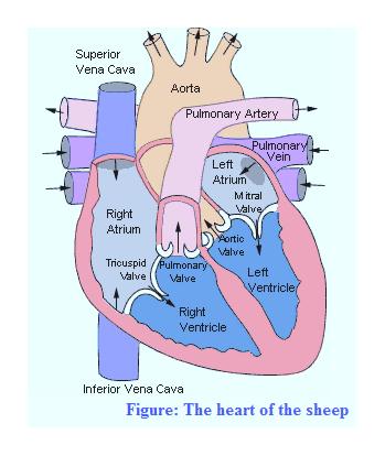 Superior Vena Cava Aorta Pulmonary Artery Pulmonary Vein Left Atrium M itral Valve Right Atrium ortic Valve TriouspidPulmonary Left Valve Valve Wentricle Right Ventricle Inferior Vena Cava Figure: The heart of the sheep