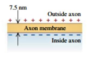 7.5 nm Outside axon + Axon membrane Inside axon