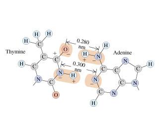 (н н 0.280 (н) н nm н Adenine N Thymine 0.300 н nm N. N N