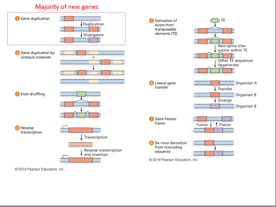 Majority of new genes Gene duplication Derivation of exons from transposable elements (TE) TE Duplication I Divergence New splice sites evolve within TE Gene duplication by unequal crossover Other TE sequences degenerate Lateral gene transfer Organism A | Transfer Exon shuffling Organism B | Diverge Organism B Gene fission/ fusion Fusion t Fission Reverse transcription | Transcription De novo derivation from noncoding sequence Reverse transcription and insertion © 2019 Pearson Education, Inc. 2019 Pearson Education, Inc.