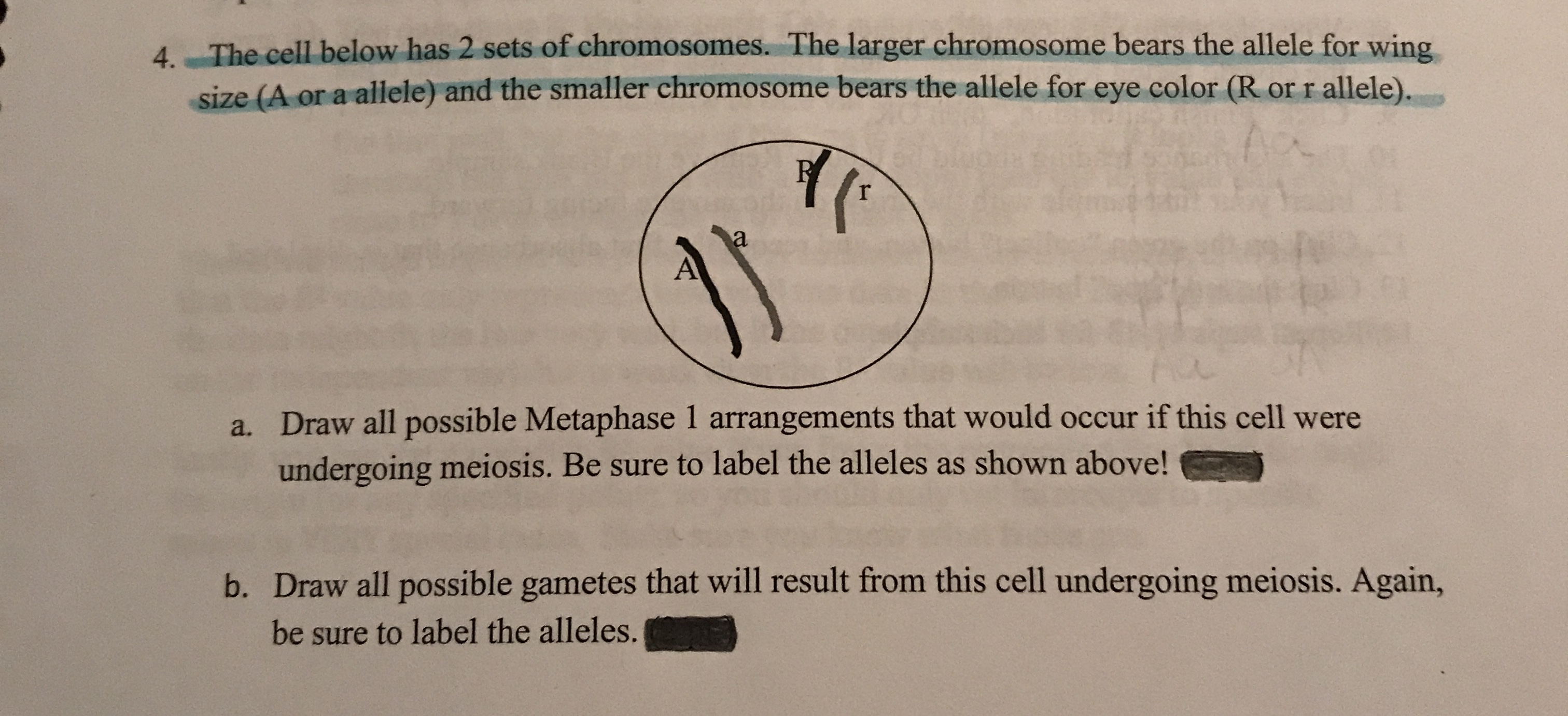 4. The cell below has 2 sets of chromosomes. The larger chromosome bears the allele for wing size (A or a allele) and the smaller chromosome bears the allele for eye color (R or r allele). a a. Draw all possible Metaphase 1 arrangements that would occur if this cell were undergoing meiosis. Be sure to label the alleles as shown above! b. Draw all possible gametes that will result from this cell undergoing meiosis. Again, be sure to label the alleles.