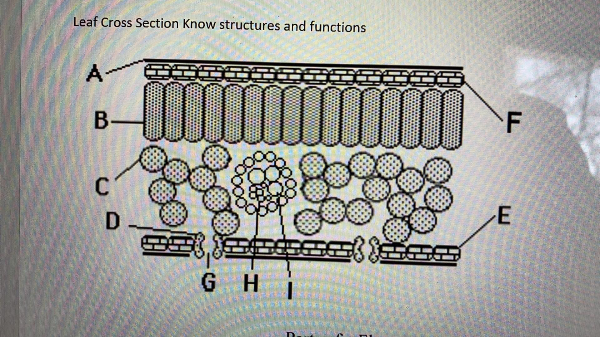 Leaf Cross Section Know structures and functions A- GH