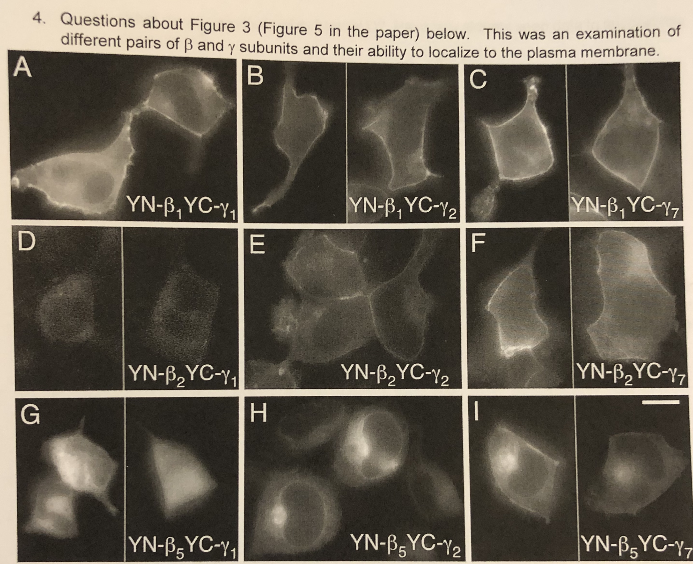 4. Questions about Figure 3 (Figure 5 in the paper) below. This was an examination of different pairs of B and y subunits and their ability to localize to the plasma membrane. A В C YN-B,YC-Y1 YN-B YC-Y7 YN-B,YC-Y2 YN-B2YC-Y7 YN-B2YC-Y2 YN-B,YC-Y 2 YN-BYC-Y7 YN-BYC-Y2 YN-BSYC-y LL I
