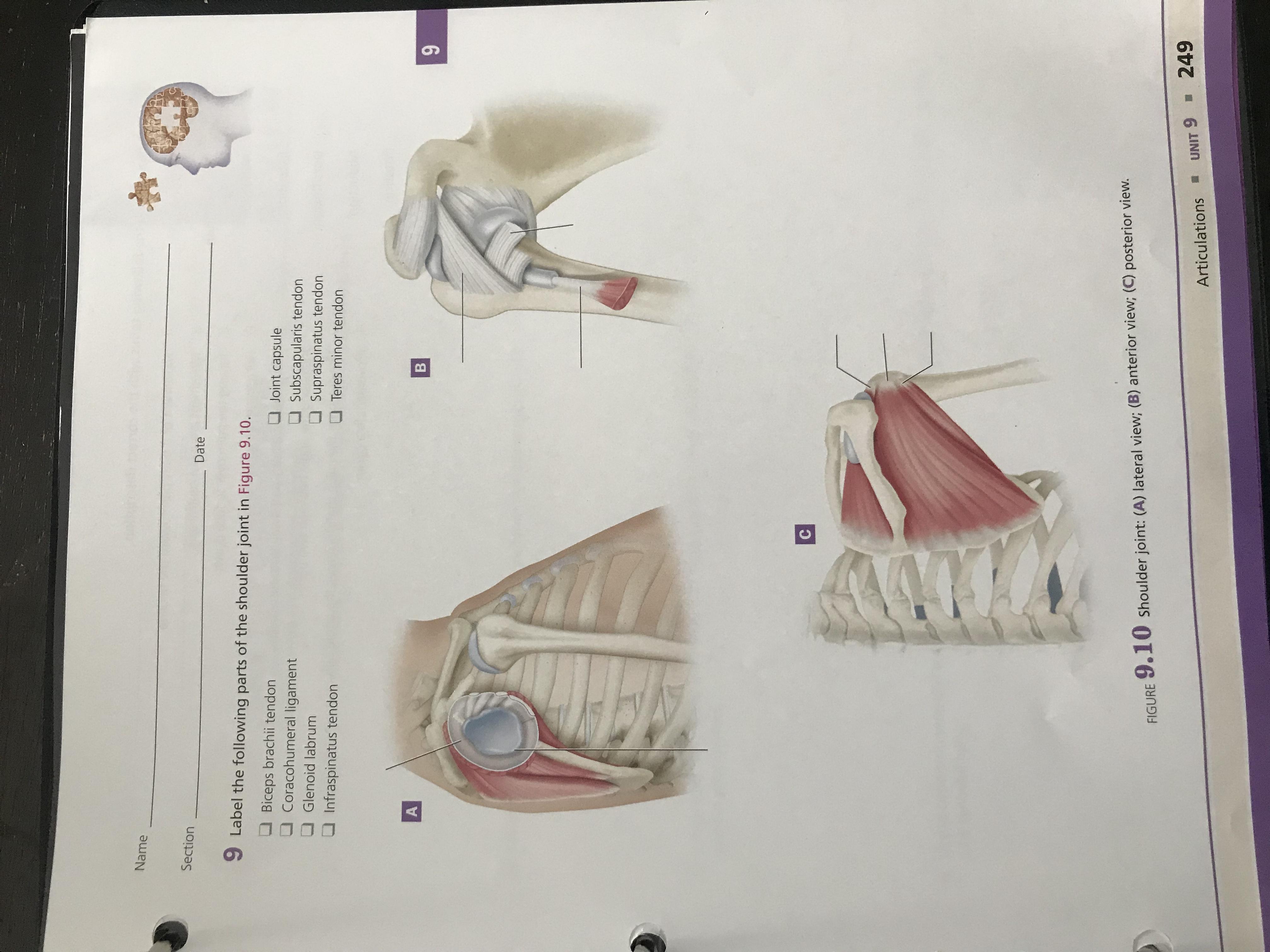 ·松 Name Section Date 9 Label the following parts of the shoulder joint in Figure 9.10. ■ Biceps brachii tendon Coracohumeral ligament Glenoid labrum ■ Joint capsule Subscapularis tendon Supraspinatus tendon ■ Teres minor tendon ■ Infraspinatus tendon FIGURE 9.10 shoulder joint: (A) lateral view; (B) anterior view; (C) posterior view Articulations UNIT 9249
