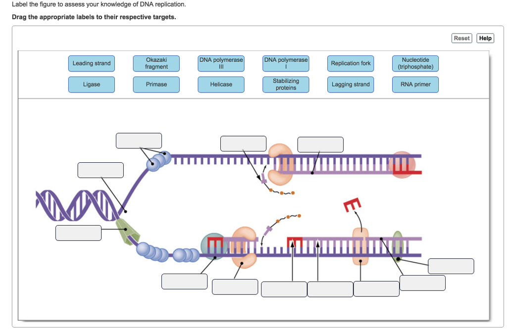 label the figure to assess your knowledge of dna replication  drag the  appropriate labels to